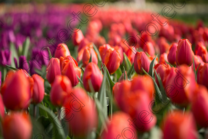 Tulip-027 