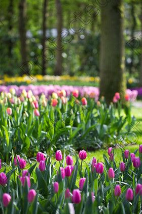 Keukenhof-026 