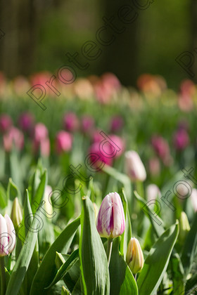 Tulip-050 