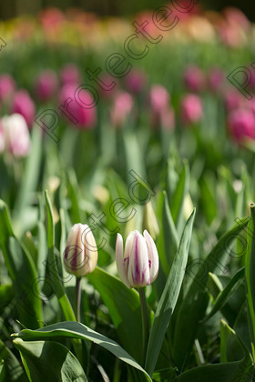 Tulip-052 