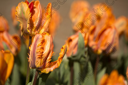 Tulip-020 