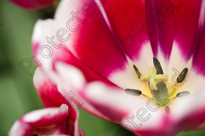 Tulip-082 