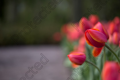 Tulip-042 