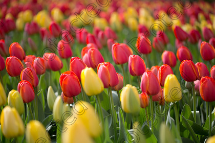 Tulip-037 