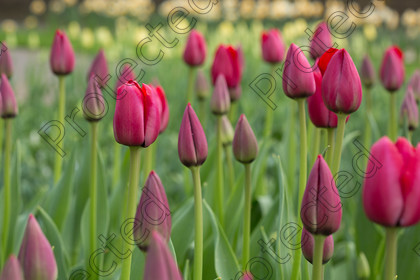 Tulip-008 