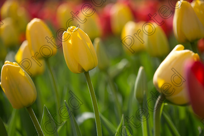 Tulip-038 