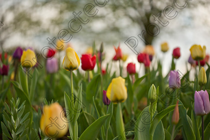 Tulip-018 