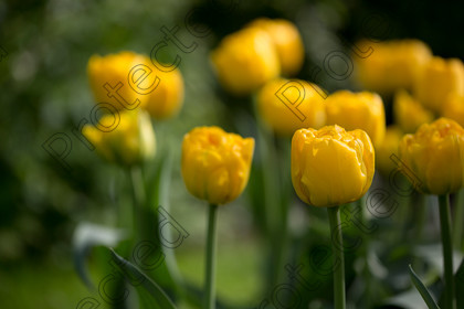 Tulip-058 