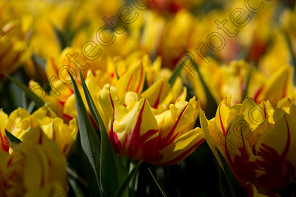 Tulip-035 