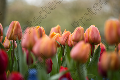 Tulip-111 