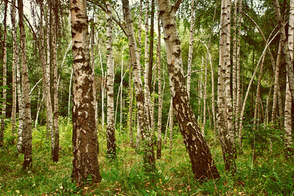 Birch forrest full res 