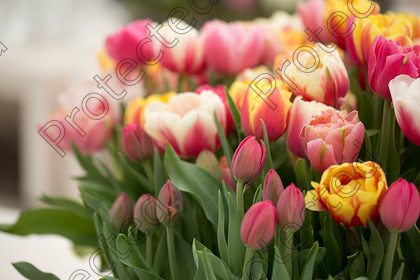 Tulip-080 