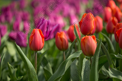 Tulip-028 
